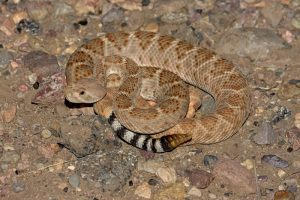 Rattlesnake Vaccinations