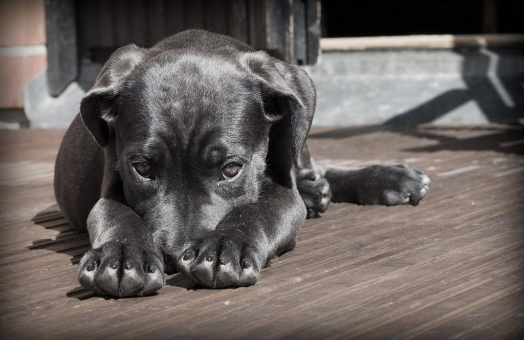 Recognizing signs of pain in pets